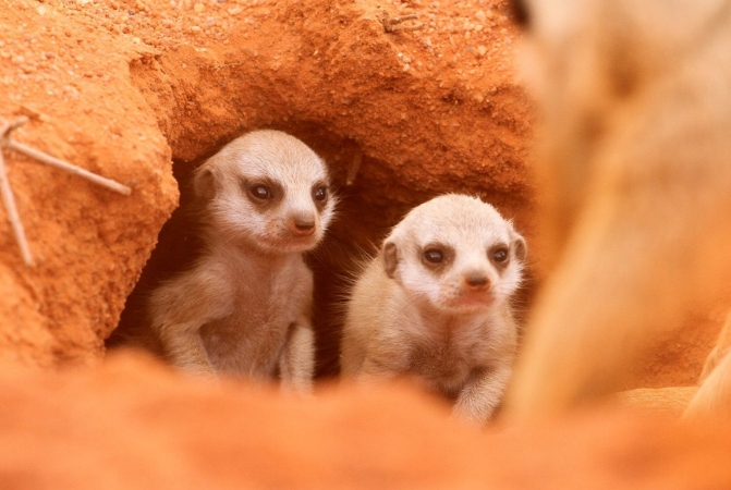 Two meerkat babies at the entrance of a den