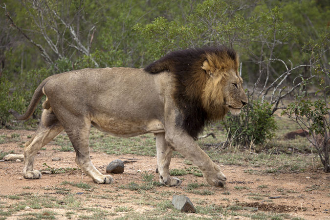 Male lion missing the tuft of hair at the end of his tail, in Kruger National Park