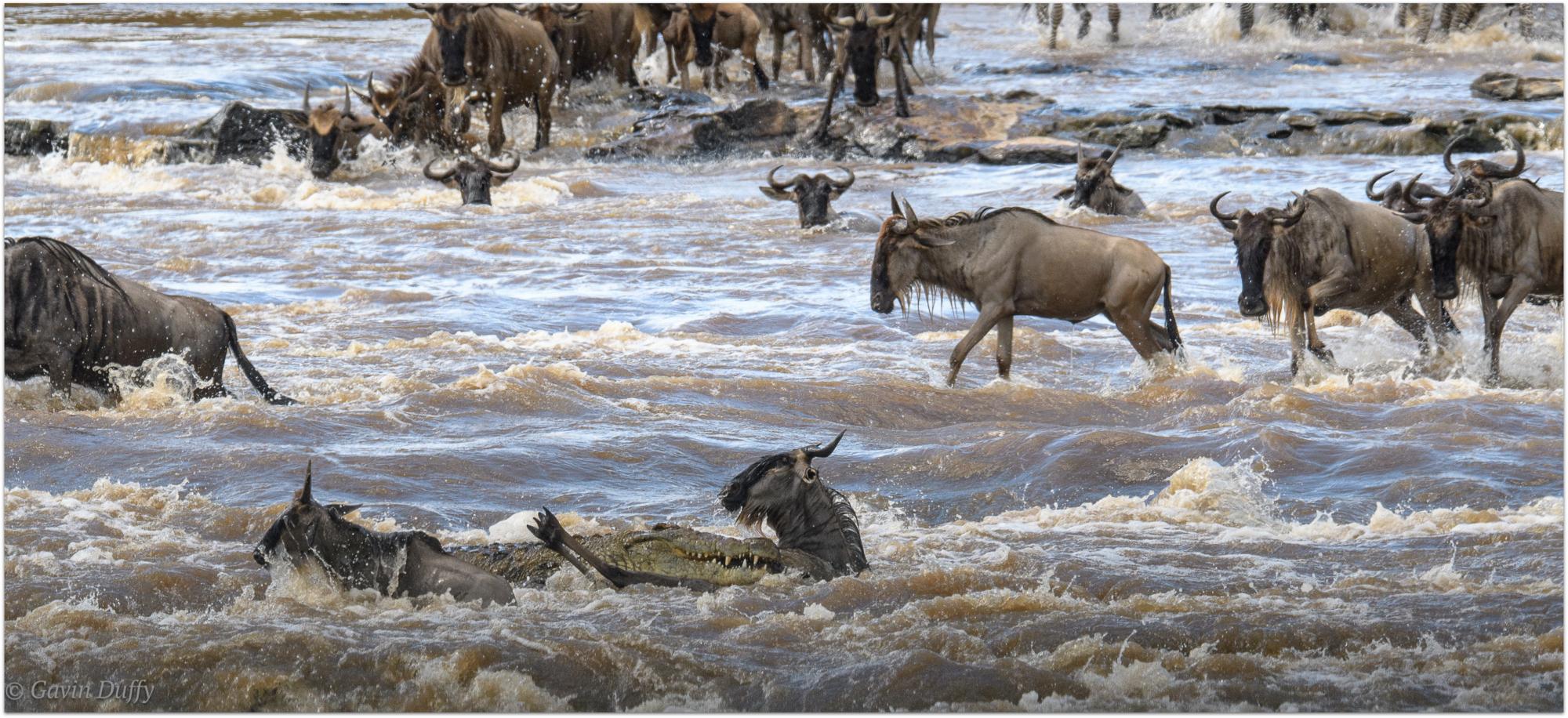 Mara River crossing casualties © Gavin Duffy
