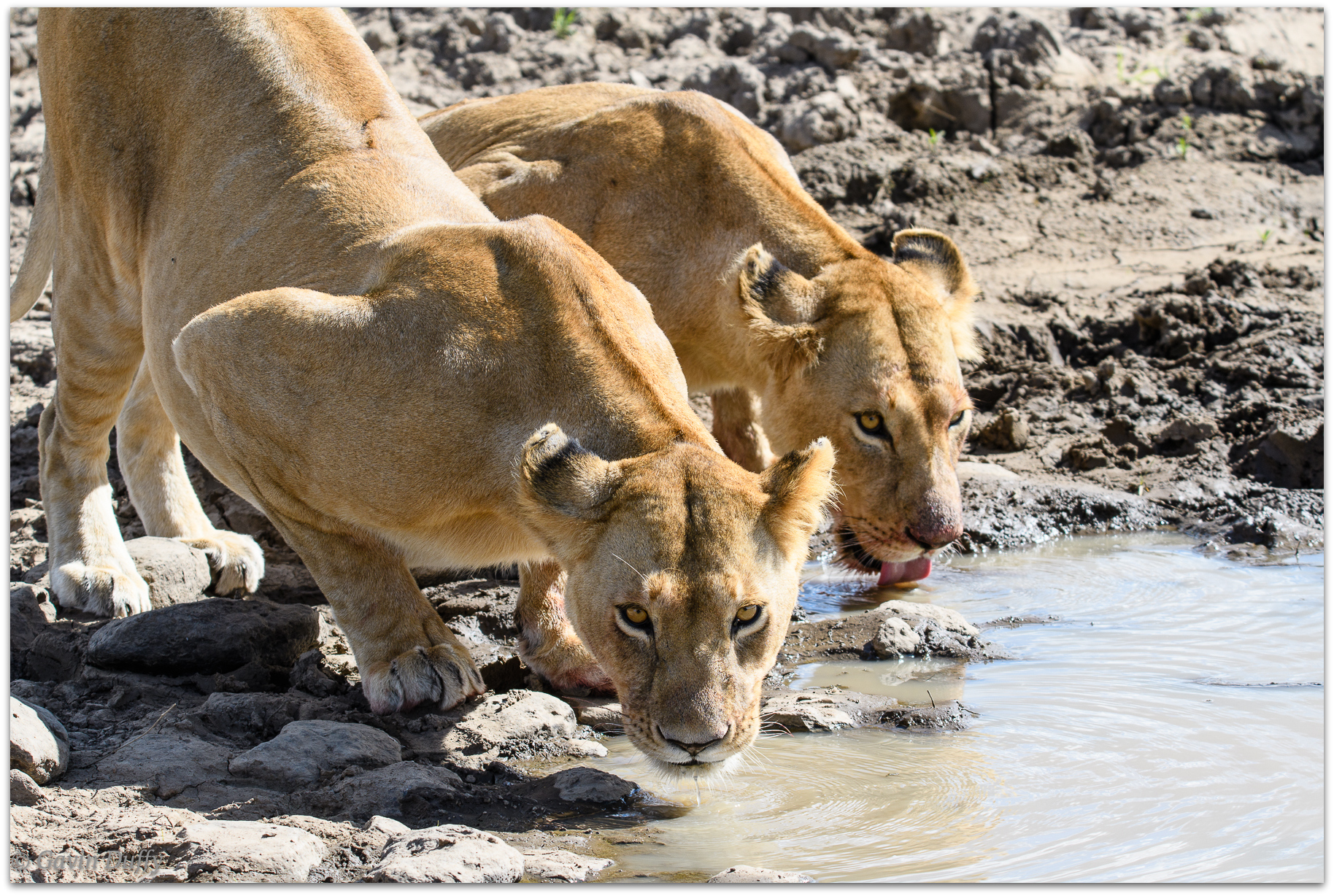 Pair of lionesses having a post-meal drink © Gavin Duffy
