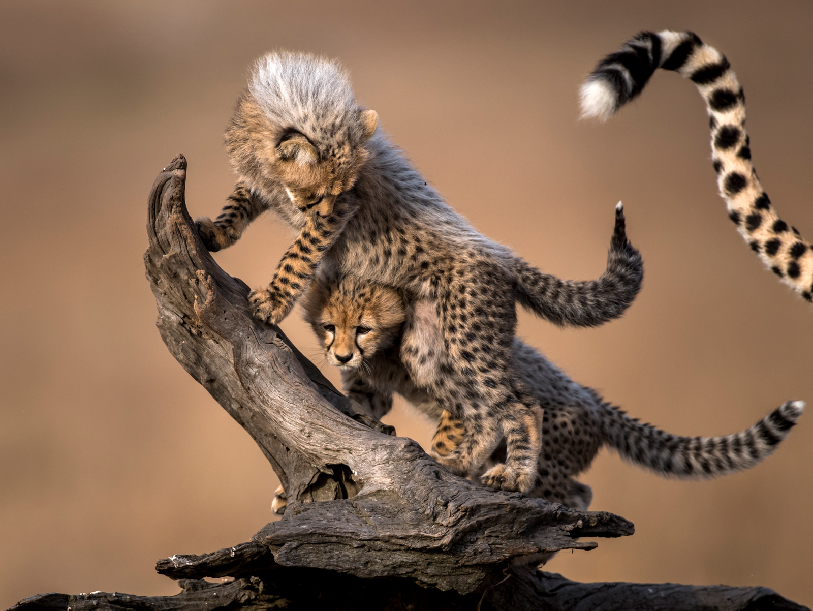 Cheetah cubs playing © Paolo Torchio