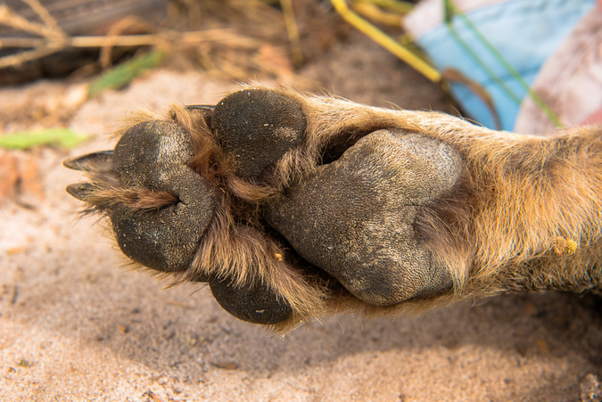 Paw structure of a Lycaon pictus