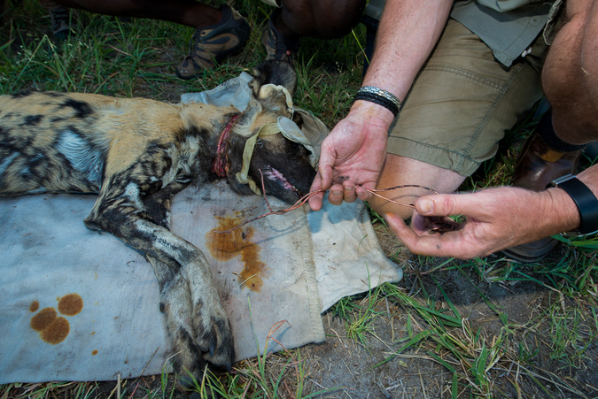 Lycaon pictus getting treated after a snare wound