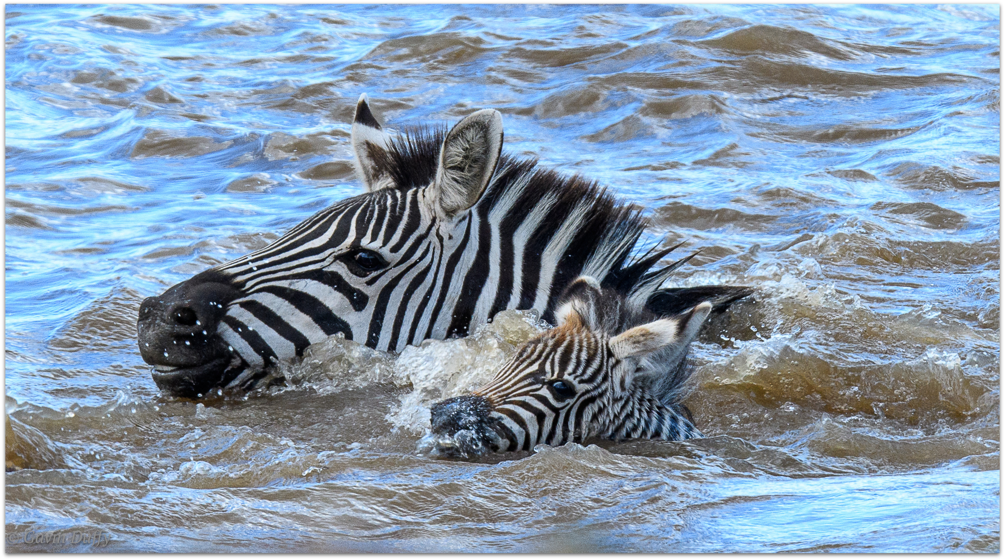 A zebra attempts to guide and protect its young foal while crossing the Mara River © Gavin Duffy