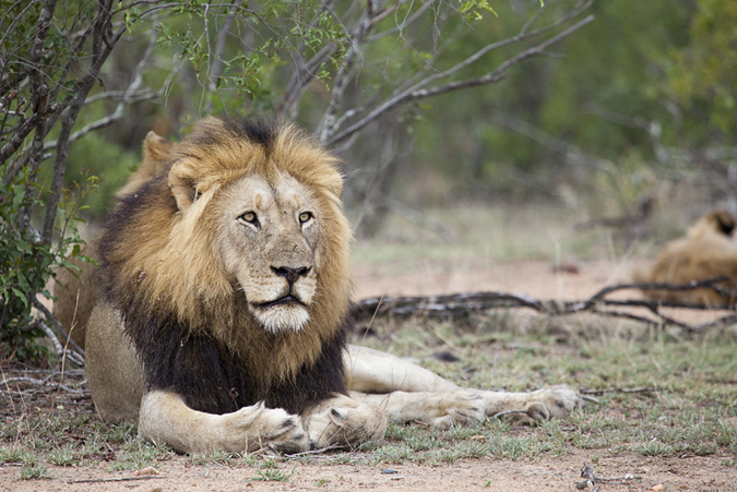 South Shishangeni male lion in Kruger National Park