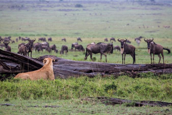 Lion watching wildebeest in the Maasai Mara