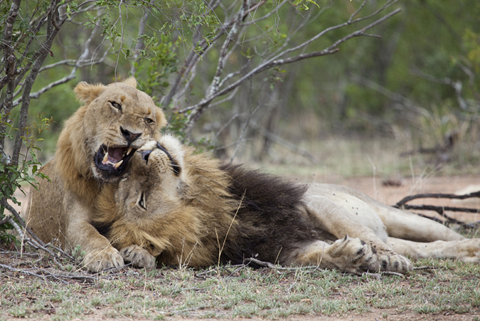 South Shishangeni male lion with younger male lion in Kruger National Park