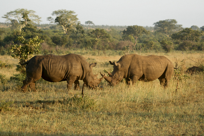 Two white rhino bulls in the Kruger