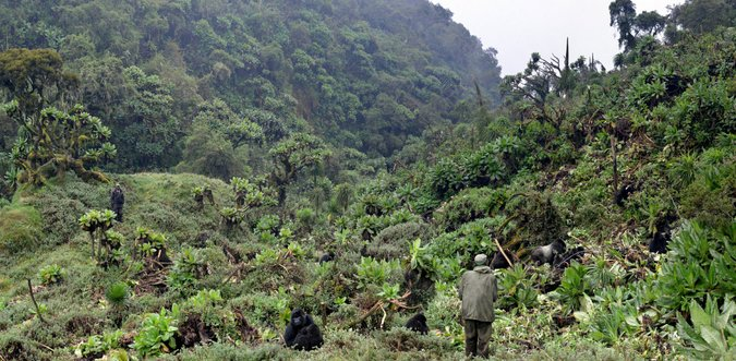 Gorillas and anti-poaching unit in Volcanoes National Park