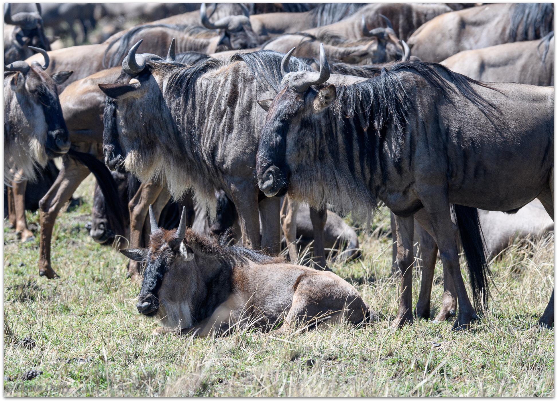 A wildebeest calf rests © Gavin Duffy