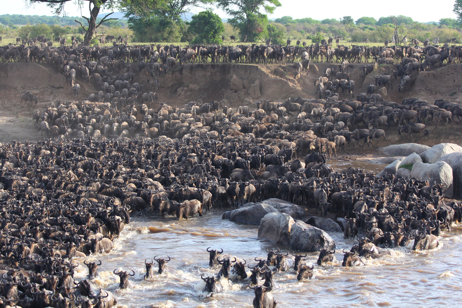 Wildebeest crossing a river in the Serengeti