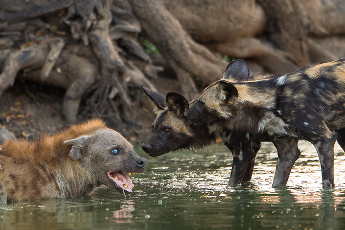 Hyena up against two African wild dogs