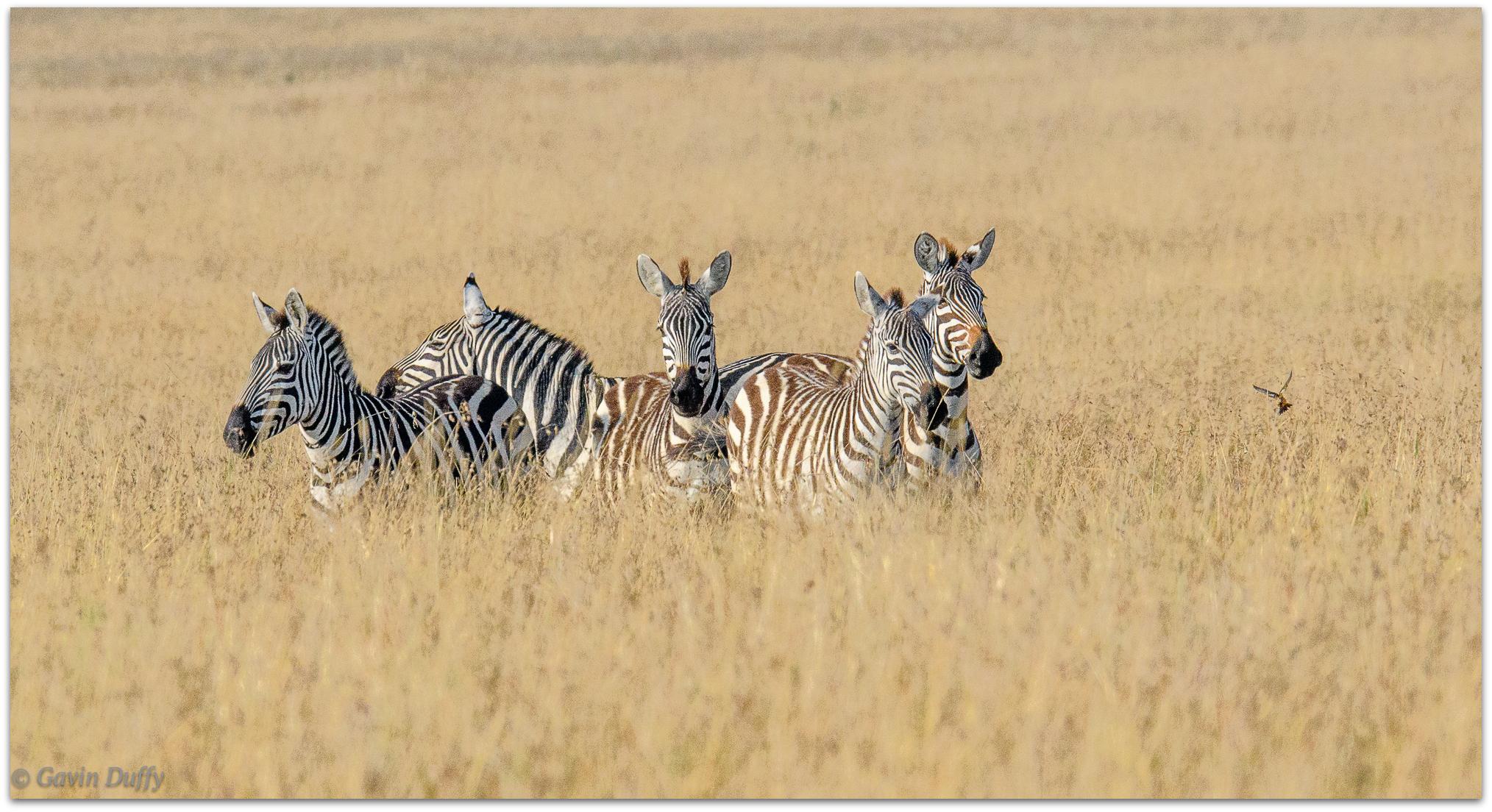 Zebra startled by a bird © Gavin Duffy