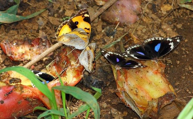 Butterflies on old fruit
