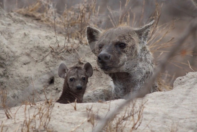 Spotted hyena with cub