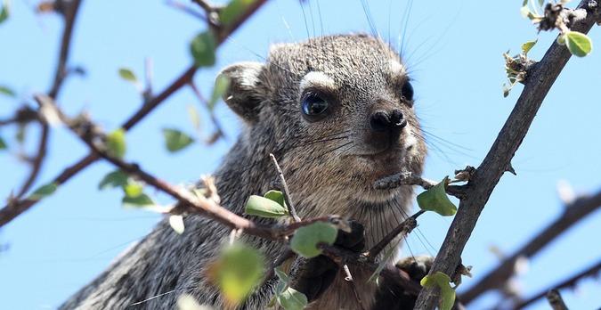 A tree hyrax