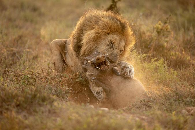 lion catching warthog