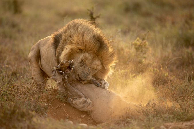 warthog in the jaws of a lion