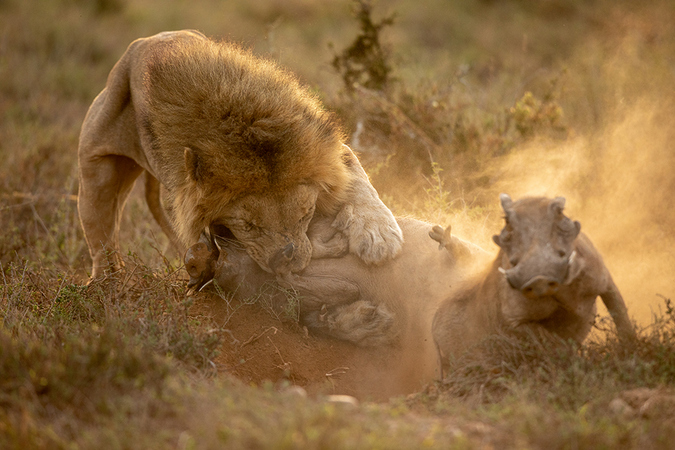lion with captured warthog while another warthog escapes