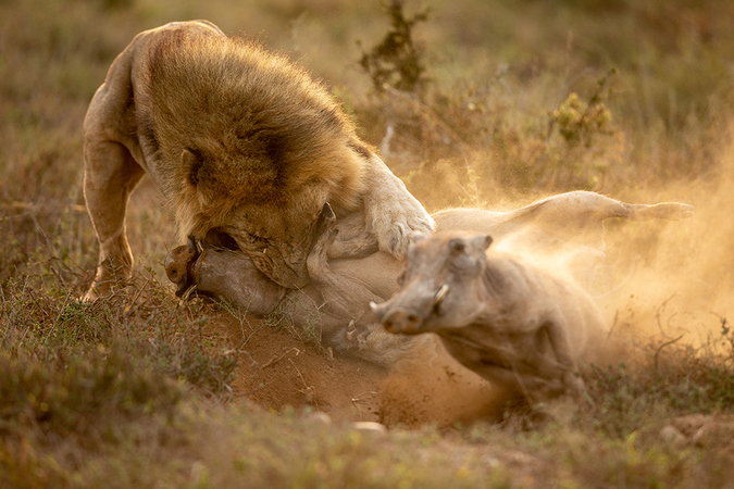 lion captures warthog while other one escapes