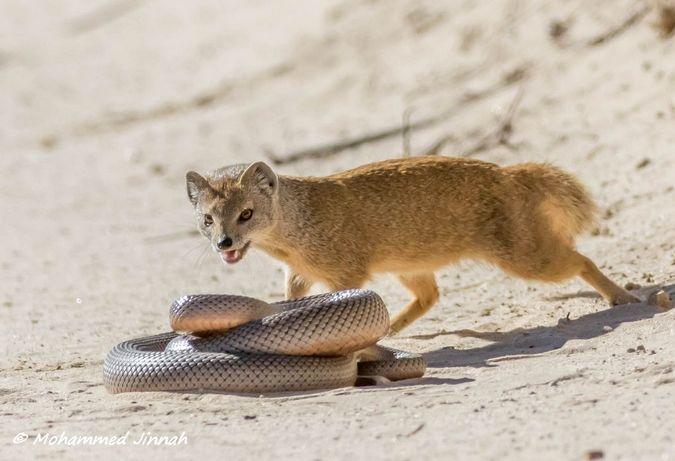 mole snake and yellow mongoose