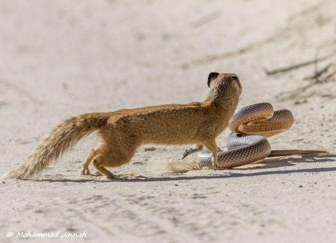 yellow mongoose and mole snake fighting