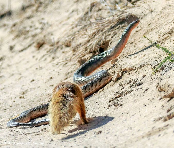 yellow mongoose and mole snake