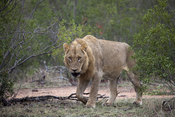 Young male lion in Kruger National Park