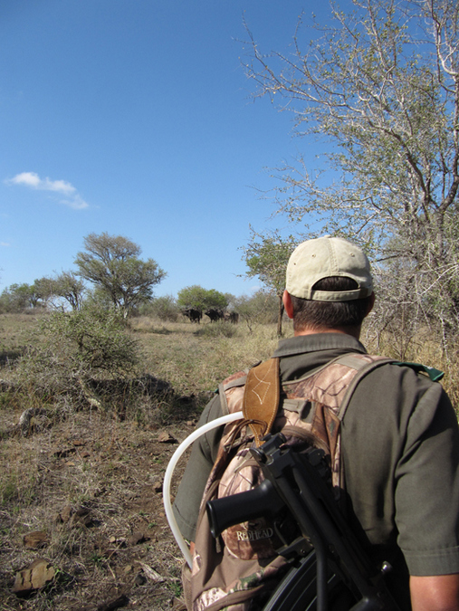 Watching a herd of buffalo on foot in the Kruger
