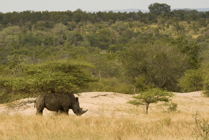 White rhino under a thorn tree in the Kruger
