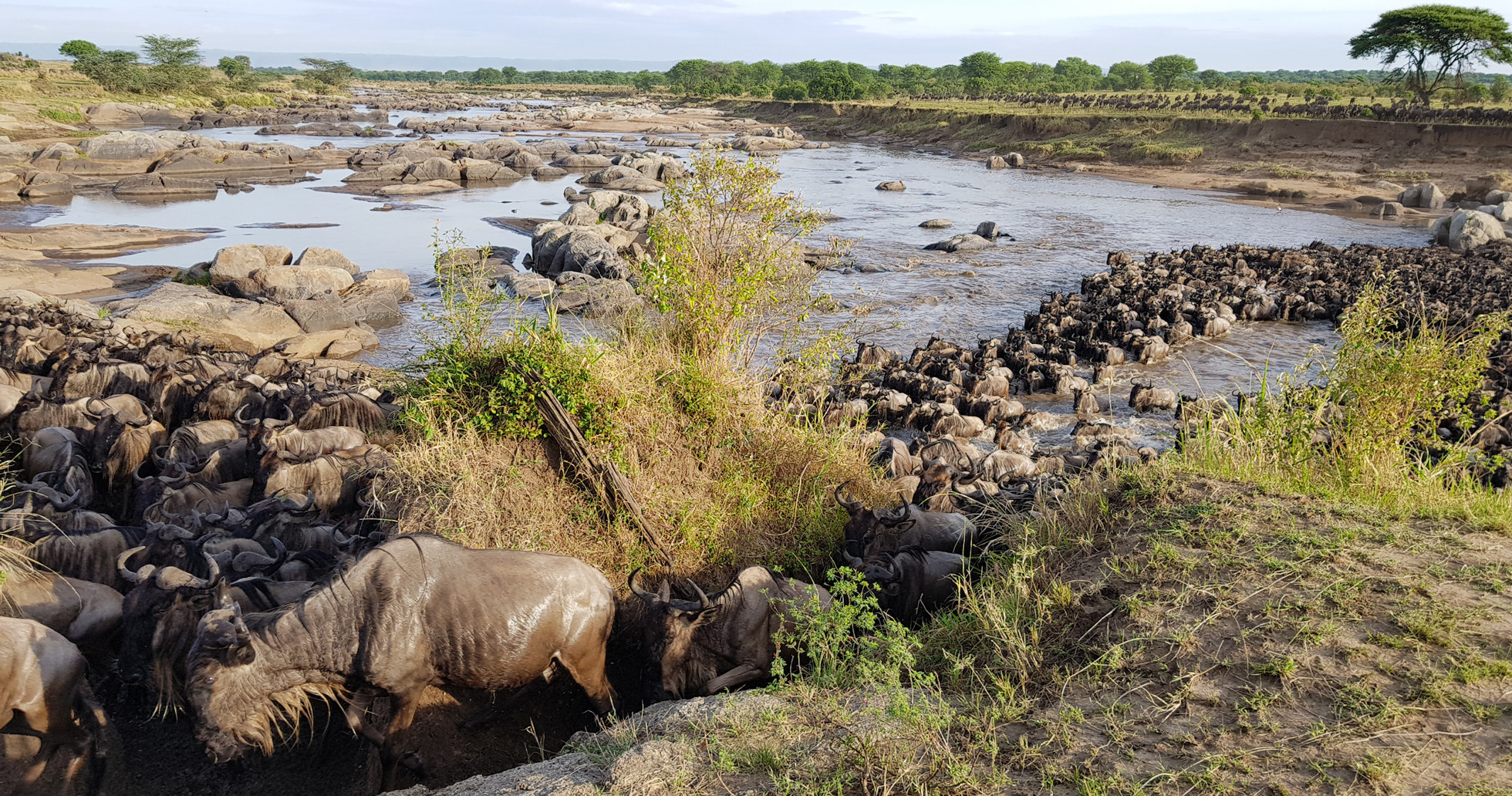 Wildebeest climbing up the bank of the river after a crossing