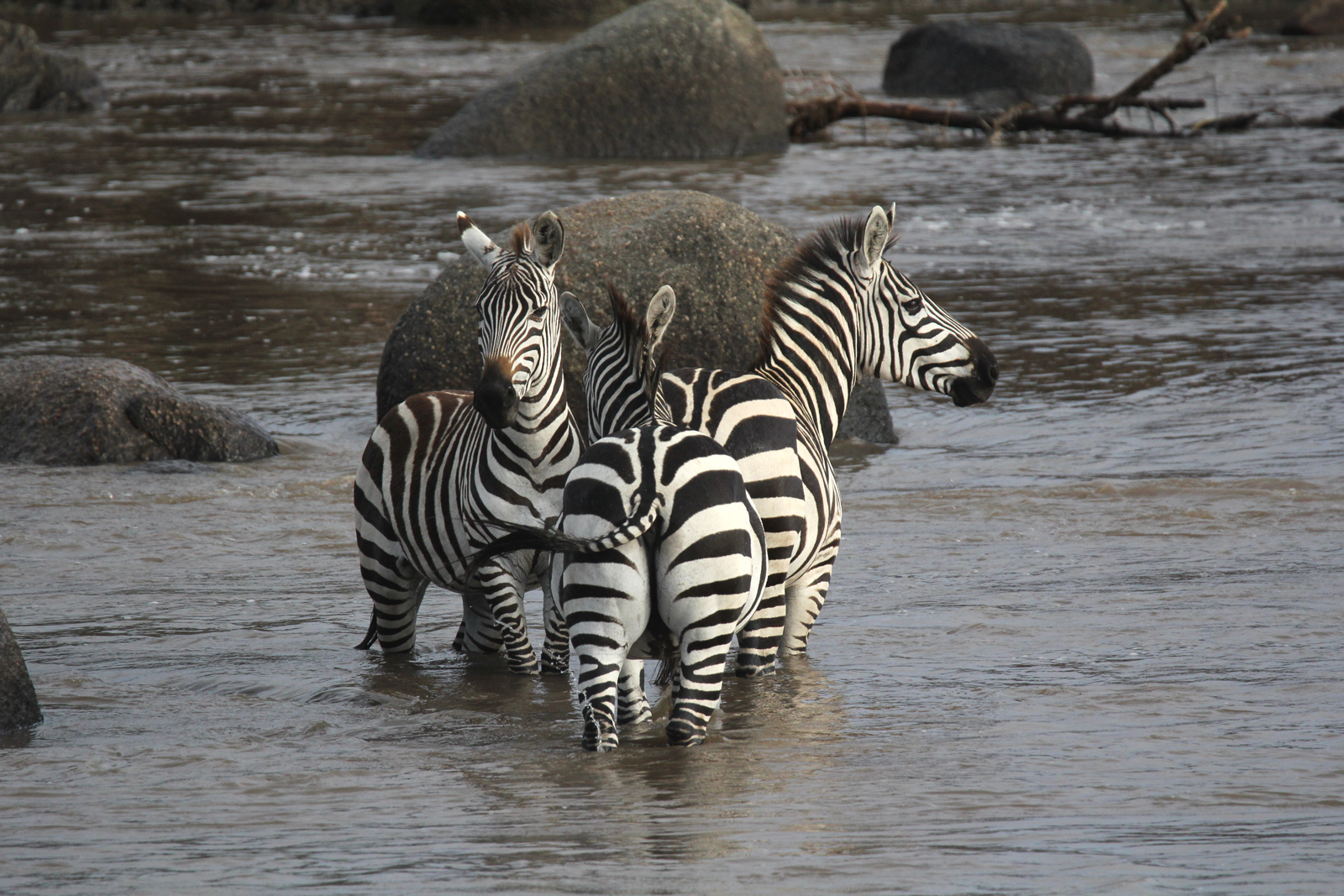 Three zebras standing in the river