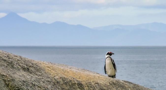 Penguin standing on rock at Boulder's beach