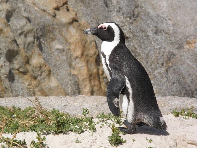 The African penguin (Spheniscus demersus)