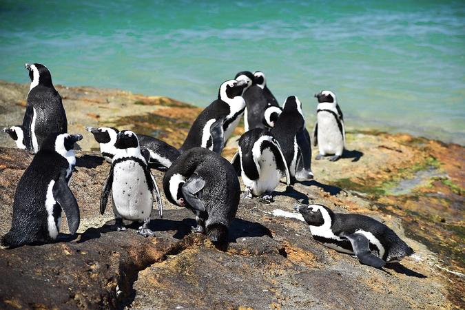 African penguins (Spheniscus demersus) in Simon's Town, Cape Town