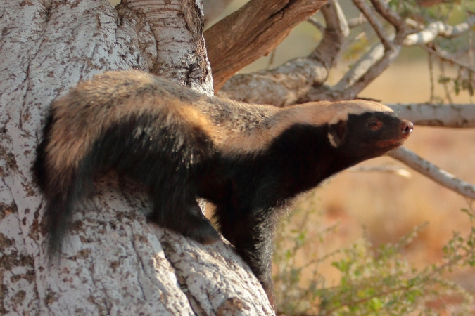 Honey badger standing on tree trunk
