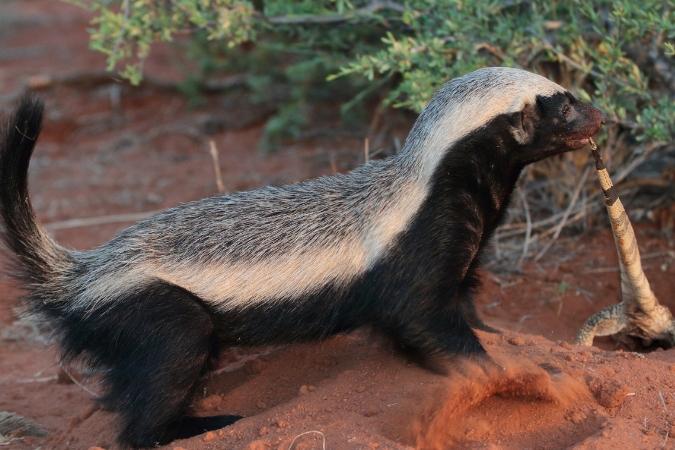 Honey badger with lizard