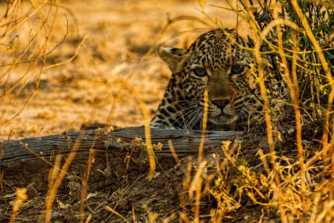 Young leopard cub in South Luangwa, Zambia