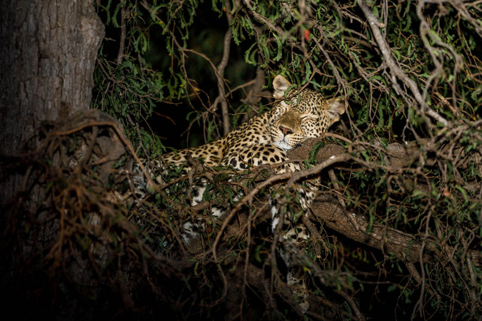 Leopard sleeping in tree in South Luangwa, Zambia