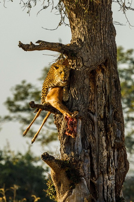Leopard with its kill in a tree in South Luangwa, Zambia