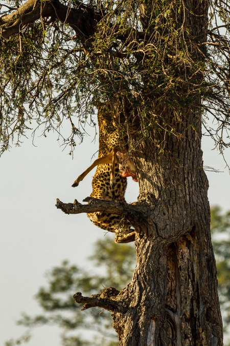 Leopard with its kill climbing a tree in South Luangwa, Zambia