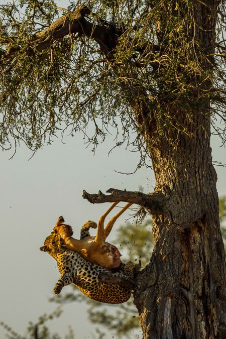 Leopard with its kill falling from a tree in South Luangwa, Zambia