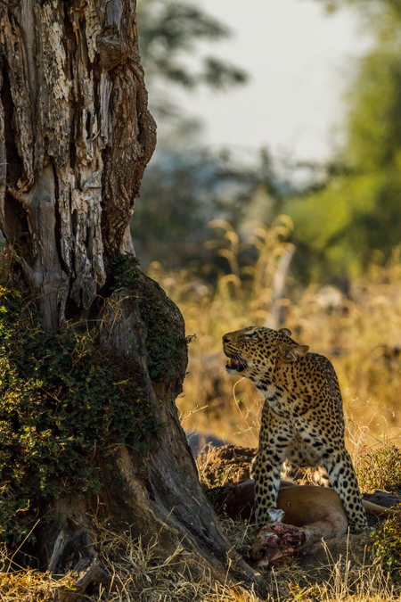 Leopard looking up at tree in South Luangwa, Zambia