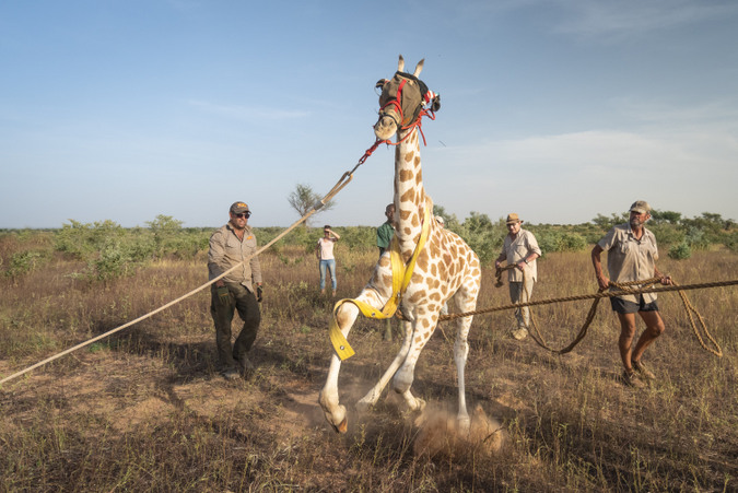 Giraffe captured for relocation