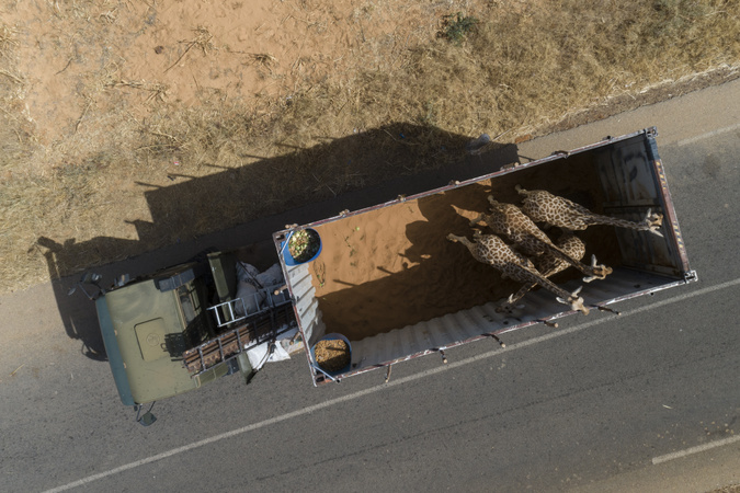 Aerial view of giraffes in truck during relocation