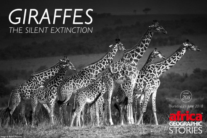 Giraffes, the silent extinction