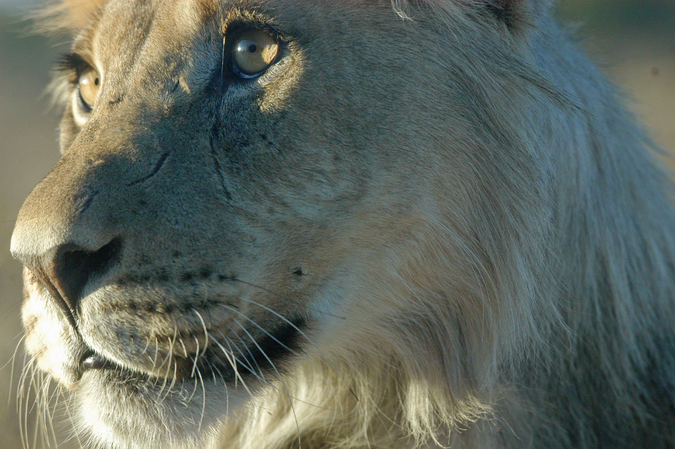 Close up of a young male lion in the Kgalagadi Transfrontier Park