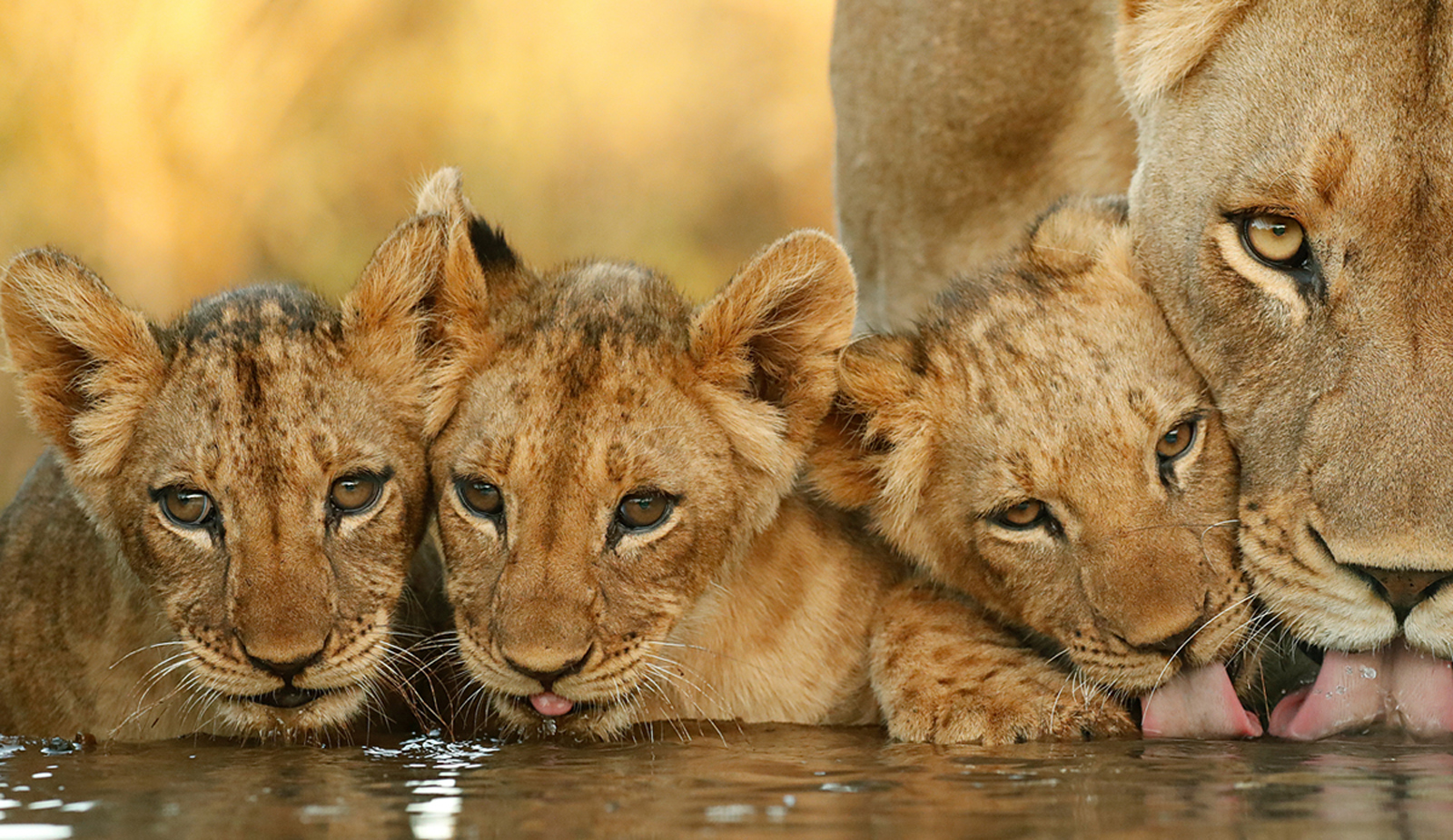 A lioness and her cubs drinking