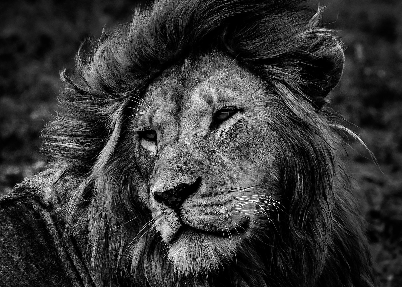 Black and white image of a lion in Tanzania
