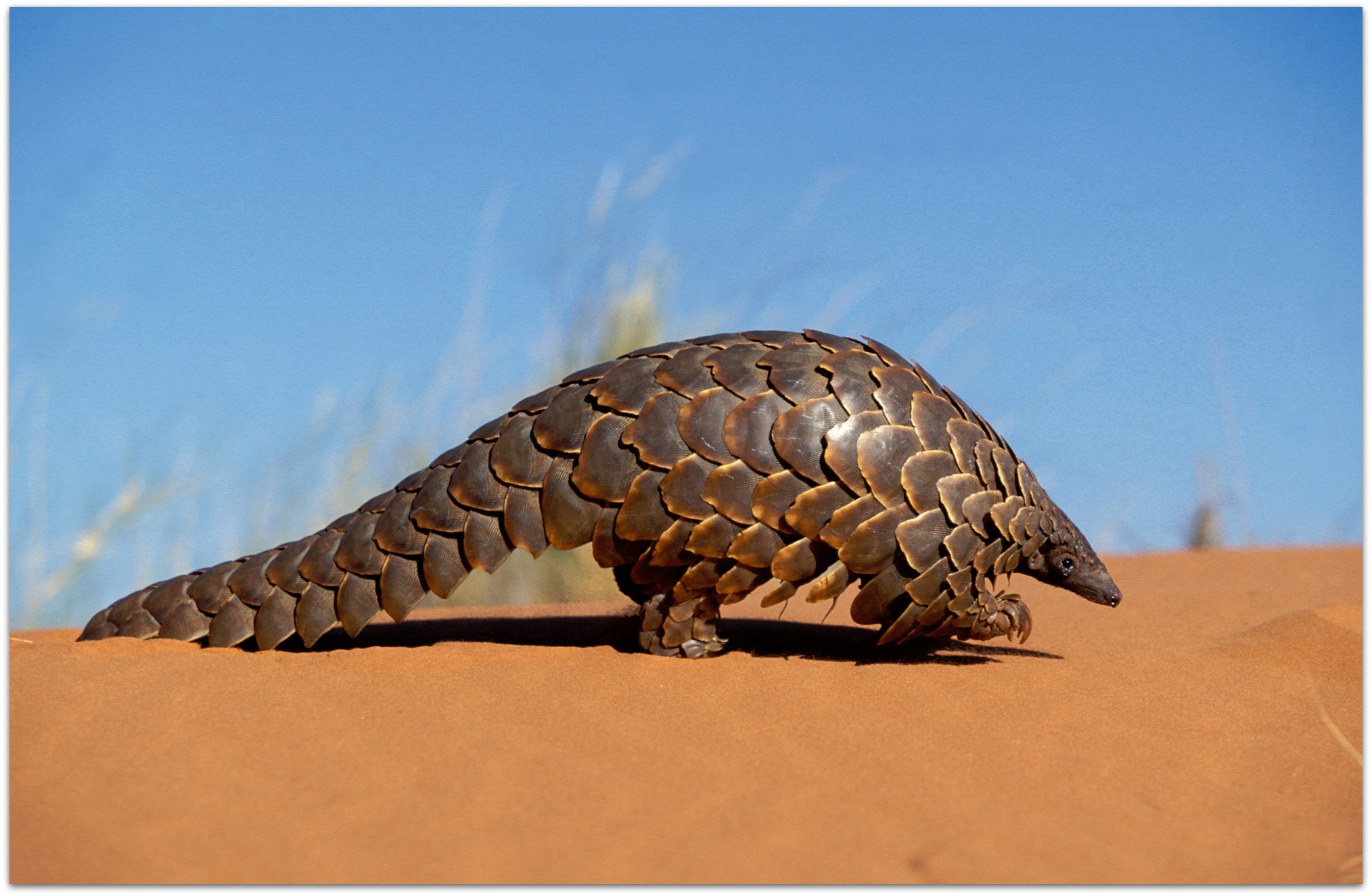Pangolin on sand dune © Nigel Dennis